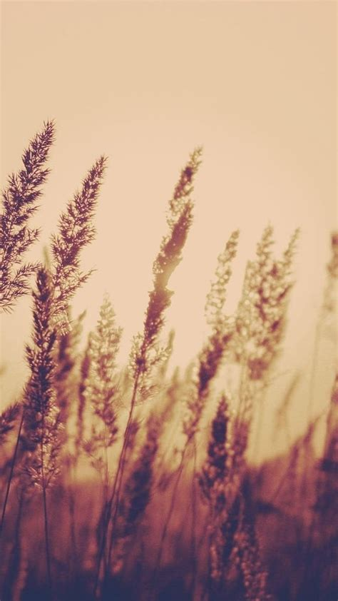 aesthetic wallpaper iphone 5 nature aesthetic reed plant field blur iphone 6 wallpaper