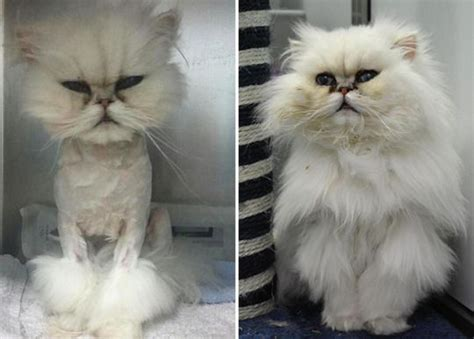 before and after cat haircuts meet the stray persian cat called penelope who s had a