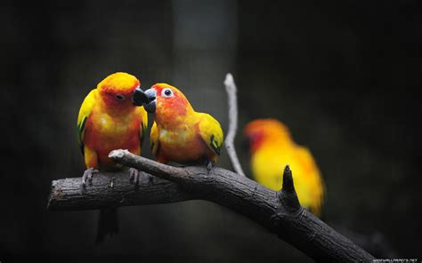 picture of love bird wallpaper hd wide birds pics litle pups love bird iphone wallpapers 11758 amazing wallpaperz
