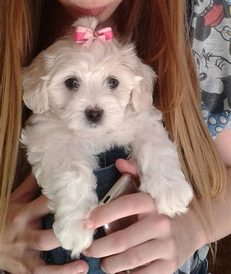 maltese poodle puppies stunning maltese x maltese poodle puppies doncaster south pets4homes