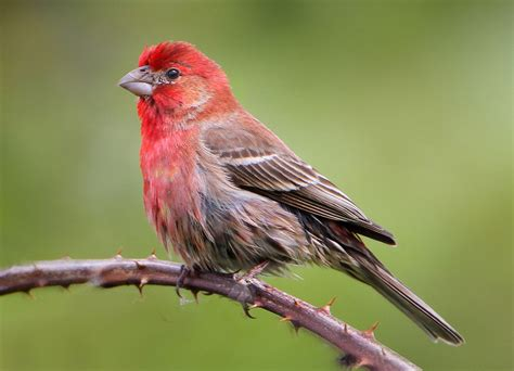 house finch calls bird brains nyc