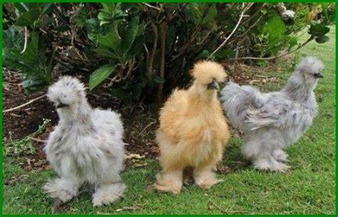 imagenes gallina japonesa gallinas sedosas del jap 243 n escaparatedemascotas
