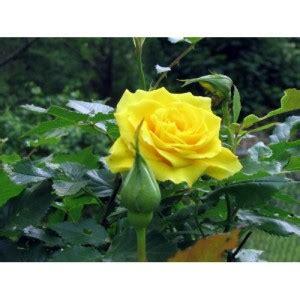 Jual Bibit Bunga Mawar Biru benih mawar kuning yellow