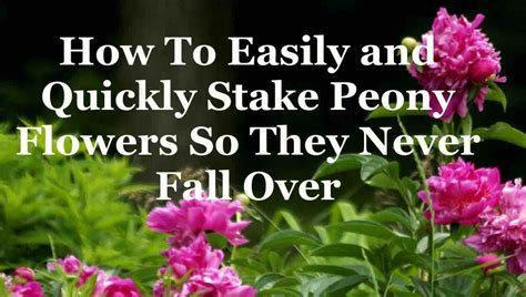 how to easily and quickly stake peony flowers so they never fall over youtube