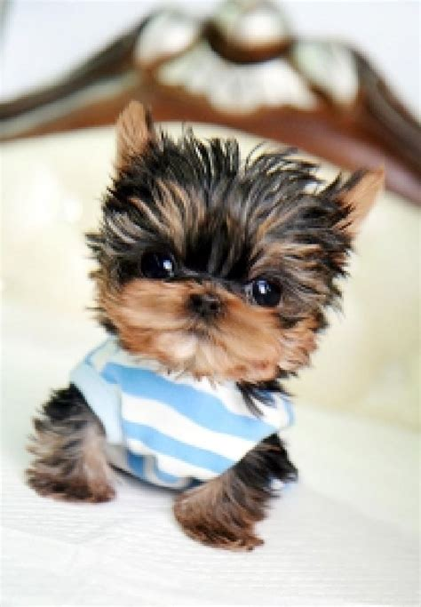 teacup yorkie puppies animal facts yorkie puppies