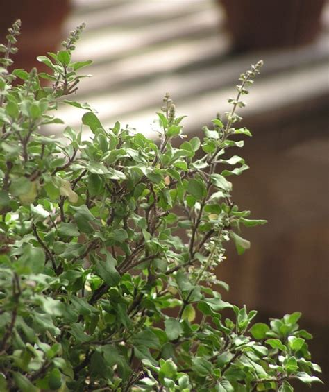 Tulsi Basil To Cure Skin Problems by Benefits Of Tulsi Holy Basil For Skin Hair And
