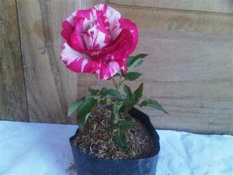 tanaman hias murah  cantik bibit