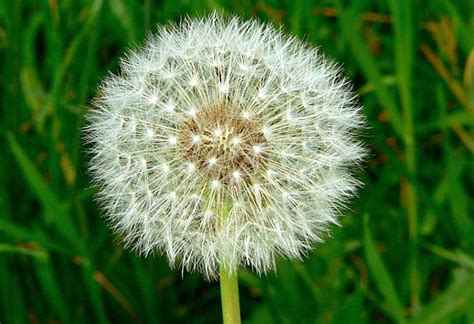 dandelion facts facts about dandelion infobarrel