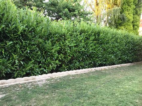 kirschlorbeer schneiden kirschlorbeer lorbeerkirsche caucasica prunus