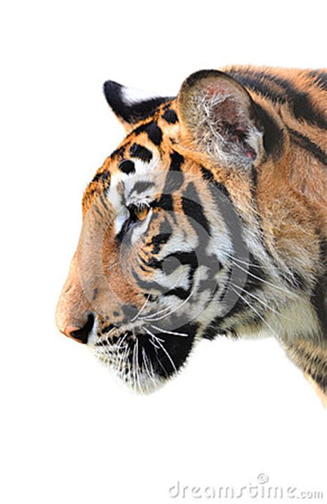 tiger head isolated royalty  stock photography image