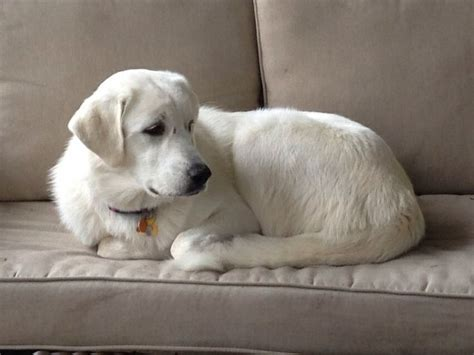 pyrador puppies 22 best images about pyrador lab great pyrenees mixes on lab puppies