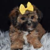 puppies for sale williamsport pa havanese mixed puppies for sale in pa havanese mix puppy adoptions