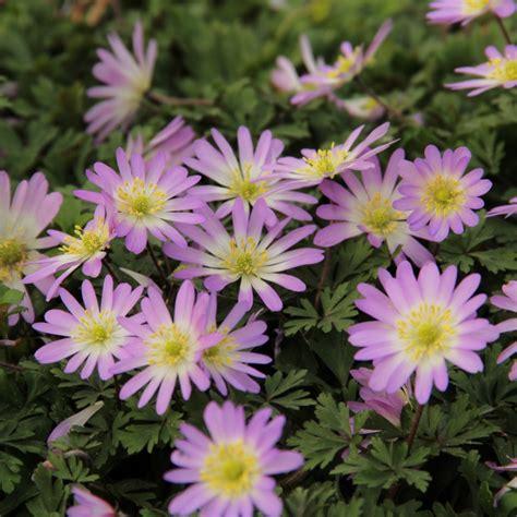 anemone blanda anemone blanda charmer