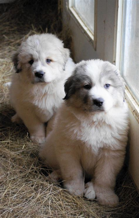 grand pyrenees puppies great pyrenees puppy at boondockers farm all
