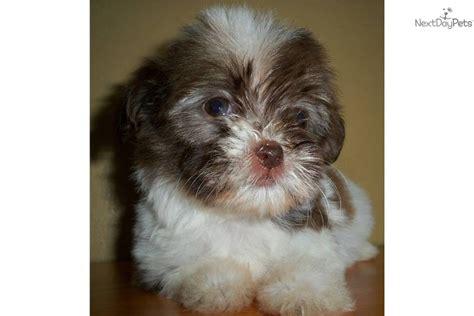 tiny havanese meet eureka a havanese puppy for sale for 950 sale pending tiny eureka
