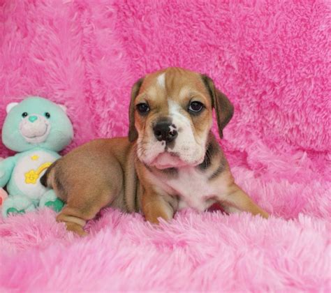 Lindsays Puppy by Lindsay Beabull Bull Rockin R Puppies