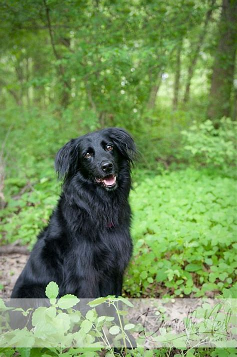 flat coated retriever strong and elegant working retriever dogs planetanimalzone flat coated retriever border collie mix what i guess lola will look like so beautiful