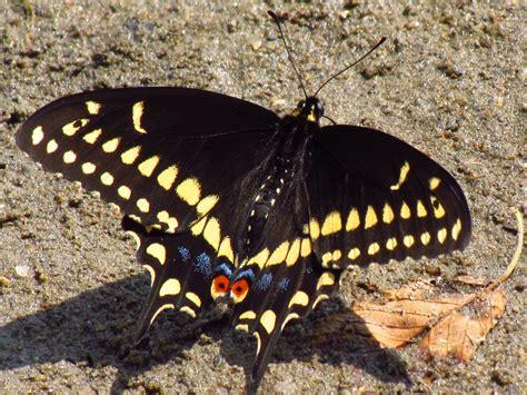 black swallowtail butterfly black swallowtail butterfly hd wallpaper animals wallpapers