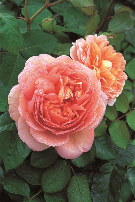 david austin english rose abraham darby mm pot