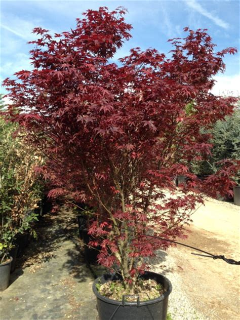 Promo Dahsyat Blood Strong 150 M acer palmatum bloodgood 300cm 10ft including height of the pot