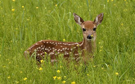 deer images deer deer wallpapers deer hd wallpapers deer
