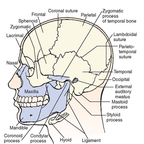 6 Auditory Bones by The Musculoskeletal System Structure And Function