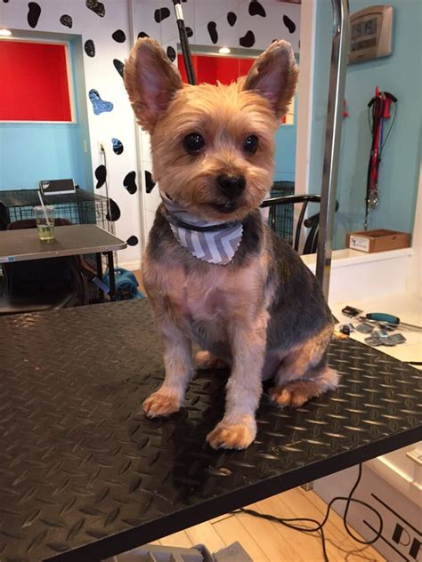 best haircut for a chorkie short yorkie cut yelp