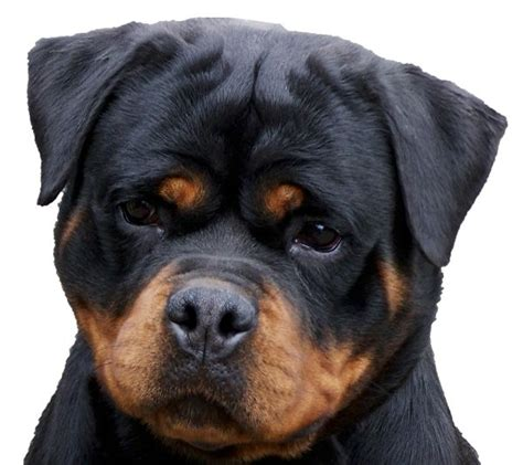 rottweiler puppies 17 best ideas about german rottweiler on