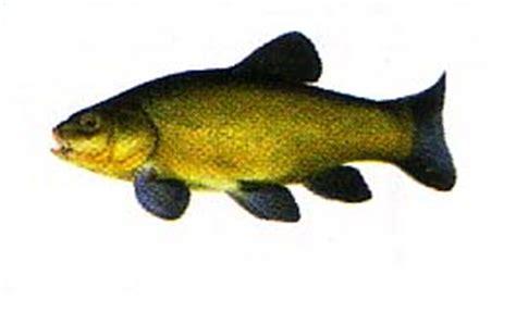 cuisiner la tanche poissons d eau douce la tanche un beau poisson d eau douce