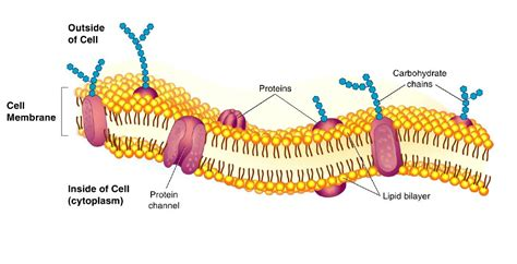 carbohydrates on cell membranes help cells the one best cold prevention that keeps getting ignored