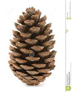 pine cone stock photo image of cone cedar
