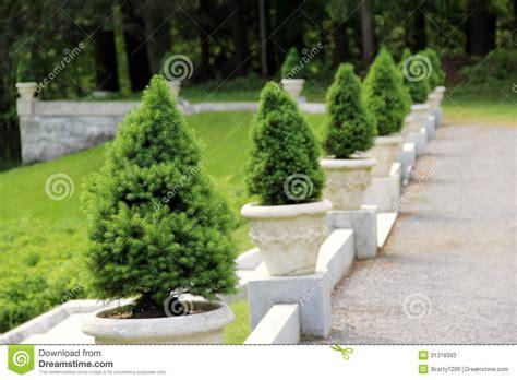 pino nano in vaso via della ghiaia con gli alberi di pino mugo immagine