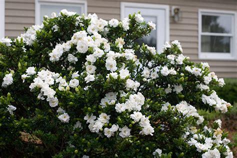 buy gardenia gardenia crown jewel pbr