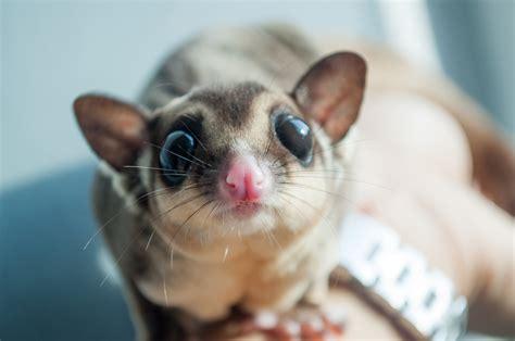 scoiattolo volante domestico accommodating awesome animals 10 most pets in the