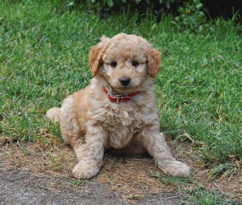 golden retriever puppies for sale adelaide puppies for sale adelaide photo