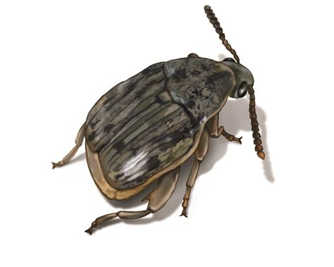 weevils weevil facts control information