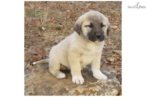 anatolian shepherd puppies for sale akc anatolian shepherd puppies for sale breeds picture