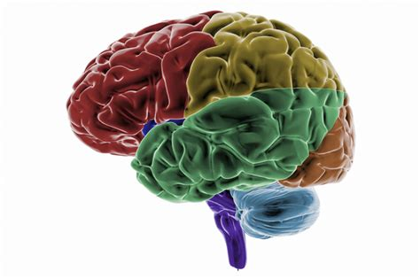 Brains Not by Learn About Temporal Lobes In The Cerebral Cortex