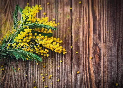 mimosa in fiore l olio essenziale di mimosa lifegate