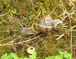 snails you can eat from your garden in poitou charentes