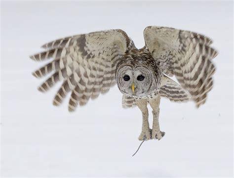 barred owl strix varia wildlife journal junior