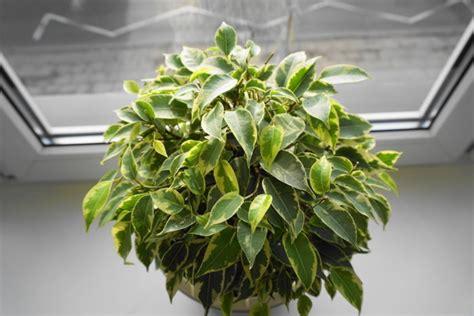 piante ricadenti da interno piante da appartamento le 8 migliori per la nostra casa
