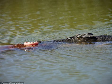 Crocodile munches a foal in Kakadu National Park | Daily ...