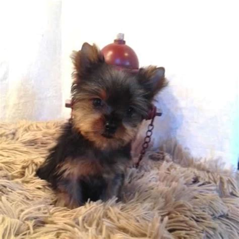 teacup yorkie info 10 best images about teacup yorkies on micro teacup puppies miniature and