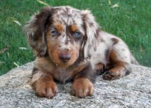 Red dachshund puppies 81 for red dachshund puppies