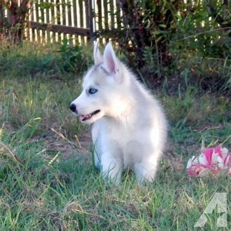 husky puppies for sale in dallas siberian husky puppies near dallas tx for sale in rockwall classified