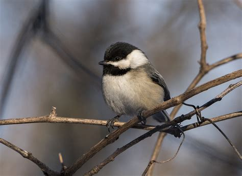 black capped chickadees are preparing for winter my