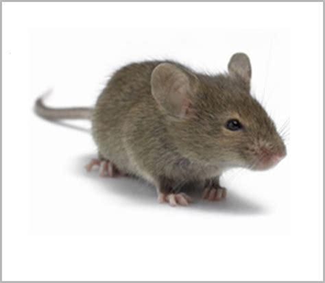 huis muis huismuis bestrijden ongediertebestrijding ploeg nl