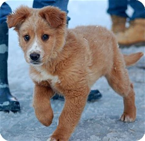 denver golden retriever denver adopted puppy unionville pa golden retriever australian shepherd mix