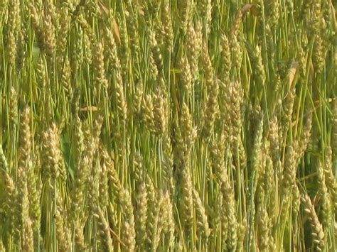 Slightly Green slightly green wheat a colorful adventure